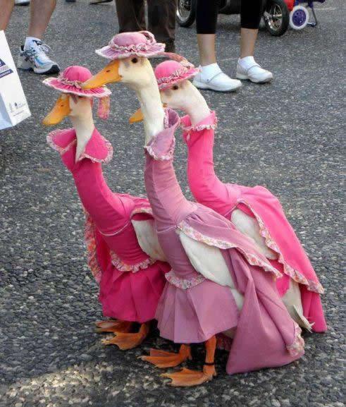 Ocas vestidas de señoras