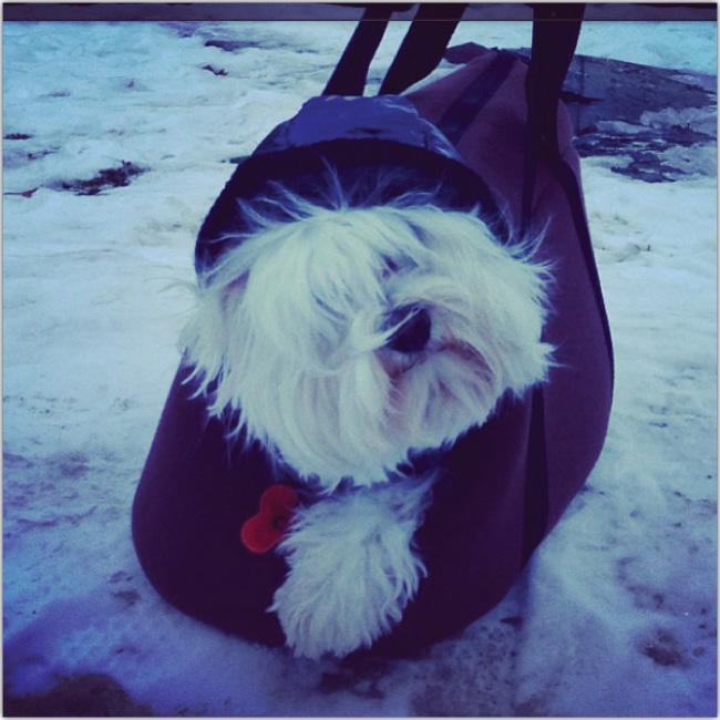 Perrito en un bolso