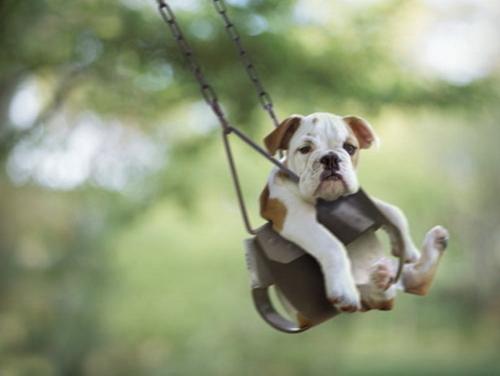 Bulldog hamacándose
