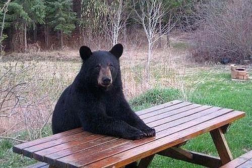 Oso esperando la comida