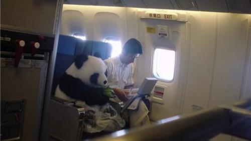 Oso panda en un avión