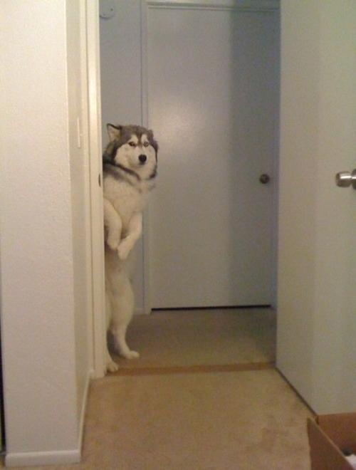 Siberian Husky espiando
