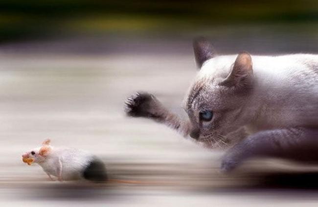 Gato persigue a un ratón