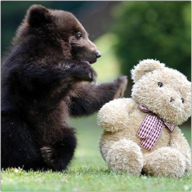 Cachorro de oso real juega con oso de peluche