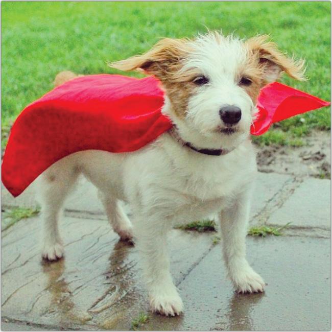 Perro pequeño usando una capa roja al estilo de Superman