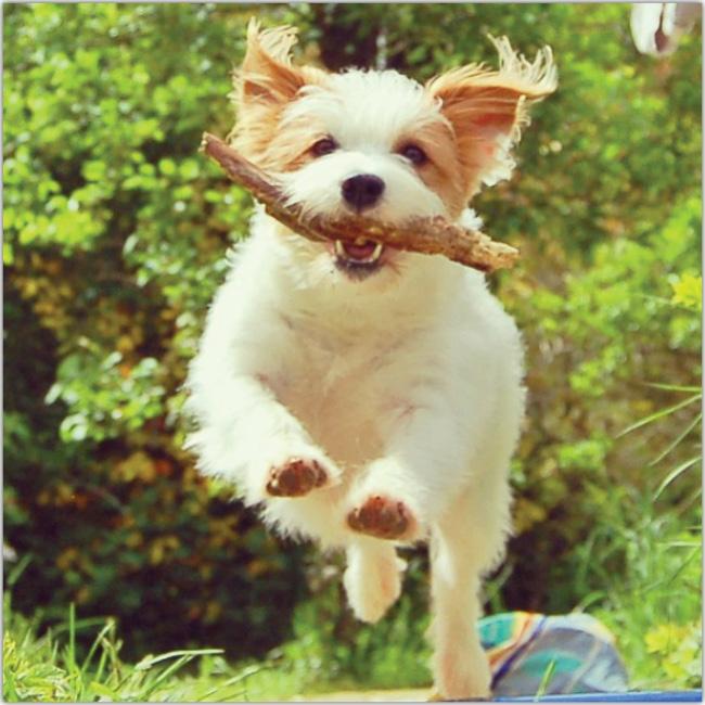 Perro corre por el parque con su pelaje al viento y un palo de madera en la boca. Del Instagram de ginny_jrt